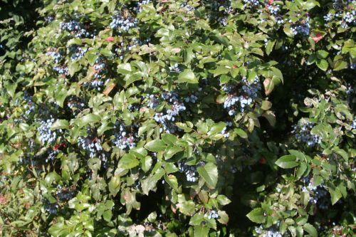 mahonia bosquet près montereau août 2010 001.jpg