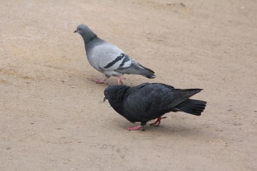 pigeons paris 10 fév 2015 002.jpg