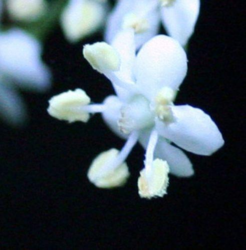 nigra fleur pollen 30 mai 2008 003.jpg