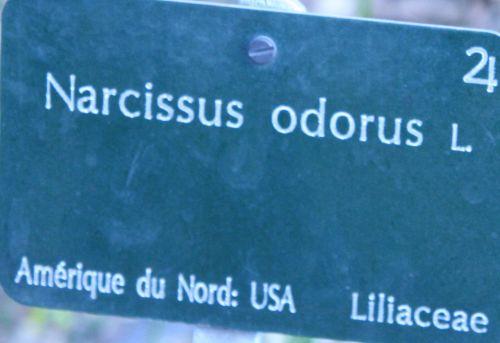 narcissus odorus paris 23 mars 076.jpg