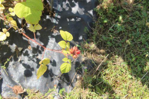 rubus phoenicolasius barres 27 juillet 2013 080 (2).jpg
