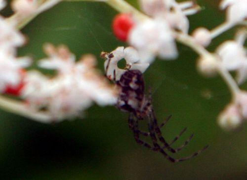 araignée romi 29 août 2010 111.jpg