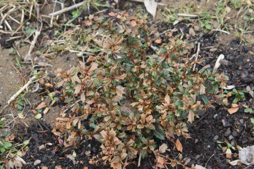 berberis darwinii romi 16 fev 2012 026.jpg