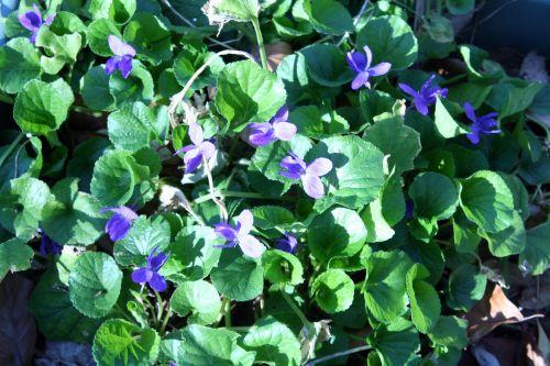 violettes parfumées 21 mars 013.jpg