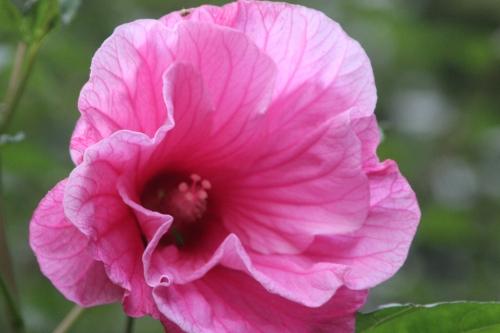 5 hibiscus moscheutos solene 11 sept 2016 100.jpg