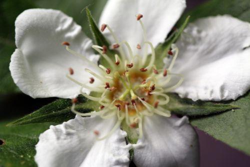 mespilus germanica styles mai 2012 043.jpg