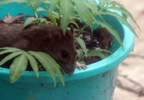 rat 27 avril 2012 053.jpg