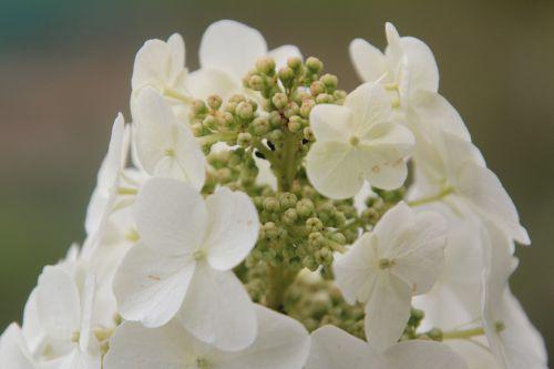 c hydrangea quercifolia paris 23 juin 2012 305 (1).jpg