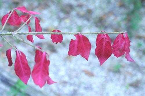 euonymus phello marnay 25 sept 2008 003 (39).jpg