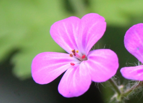 6 geranium robert veneux 28 avril 2016 005.jpg
