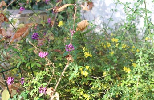 1 jasminum nudi veneux 1 nov 2014 005 (3).jpg