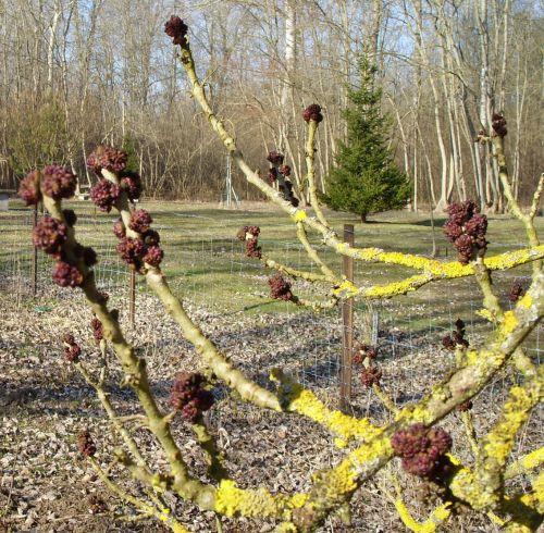 frêne bourgeons branches 12 fev 007.jpg