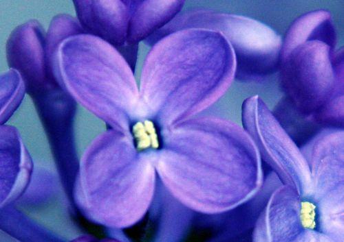 lilas fleur p 29 avril 007.jpg