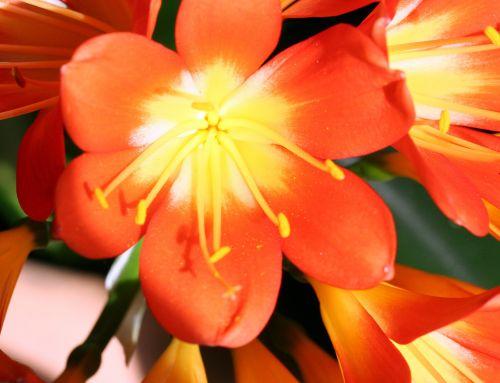 6 clivia fleur 003.jpg