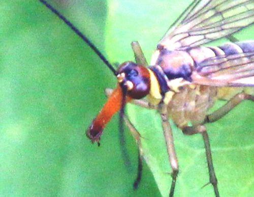 tête mouche scorpion romilly 16 juil 2012 323.jpg