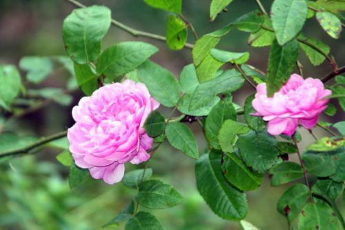 rosa romi 15 oct 2010 007.jpg