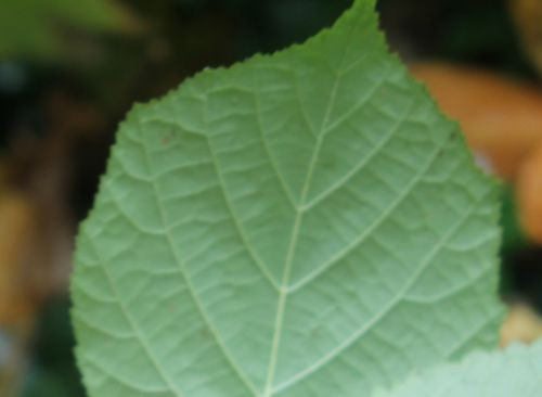nervures arborescens radiata 1 nov 2012 008.jpg