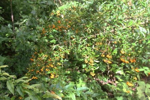 4 pyracantha jaune romi 12 sept 2017 021.jpg
