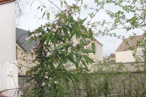 7 clematis apple blossom veneux 24 mars 2017 001 (1).jpg