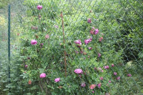 2 rosa rugosa romi 29 mai 2015 005.jpg