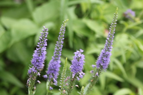 veronica spicata marnay 19 juil 2015 074 (2).jpg