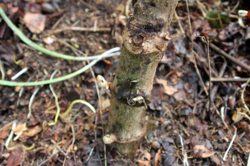 dahlia arborea 19 avril 2013 004.jpg