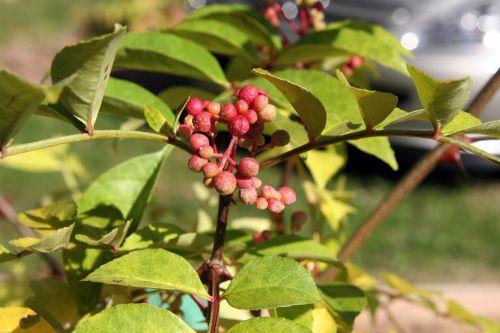zantho sim fr arbofolia 9 oct 2010 007.jpg