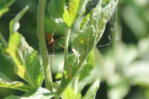 5 linyphiidae romi 28 juin 2015 050.jpg