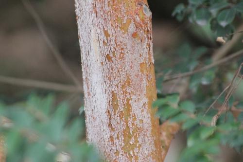 8 luma apiculata paris 10 fév 2015 104.jpg
