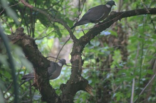 1 pigeon ramier couple veneux 22 mai 2015 008.jpg