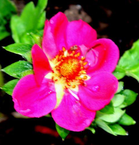 fraisier fl rouge romi 11 avril 045.jpg