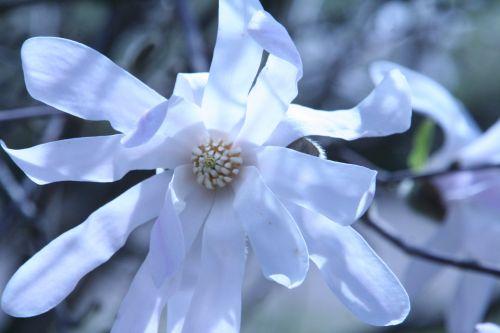 magnolia stel paris 23 mars 121.jpg