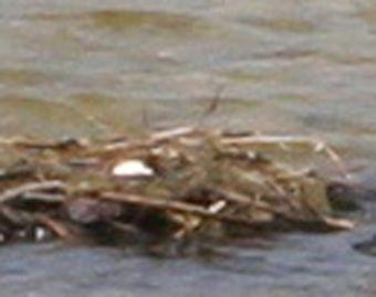 grebes nid 2 oeufs 22 avril 055.jpg