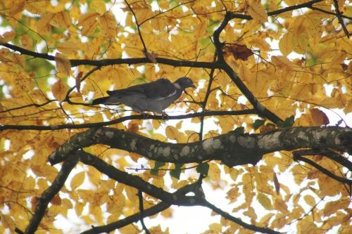 2 pigeon ramier veneux 23 nov 2014 011 (2).jpg