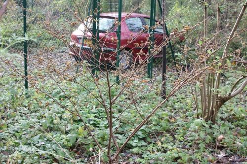 2 hamamelis arnold romi 29 oct 2014 014.jpg