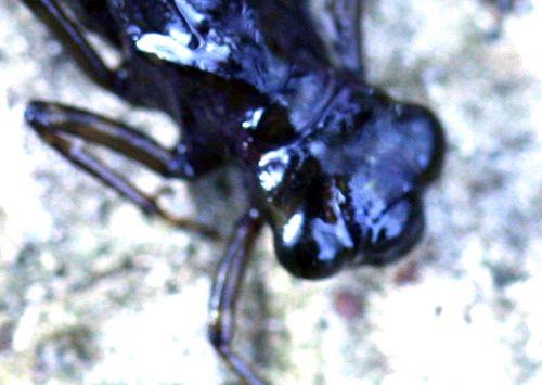larve tête 21 février 029.jpg