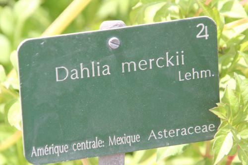 6 dahlia merckii paris 21 juil 2012 201.jpg