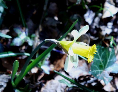 jonquille veneux 22 mars 017.jpg