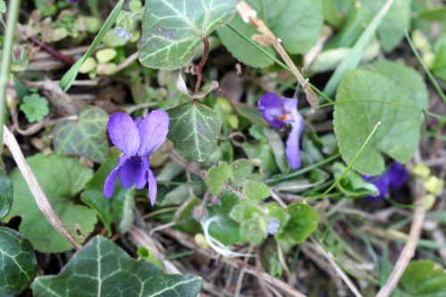 violettes veneux 16 mars 005.jpg