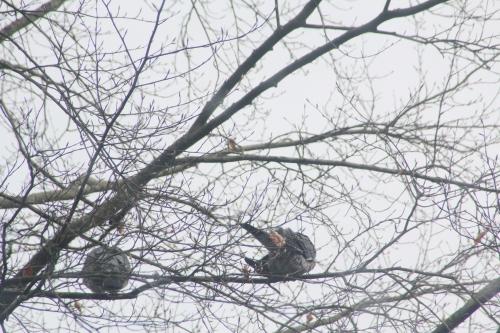1 pigeons ramiers veneux 7 mars 2018 003.jpg
