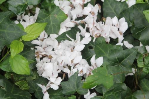 2 cyclamen hederfolium veneux 10 sept 2017 013.jpg