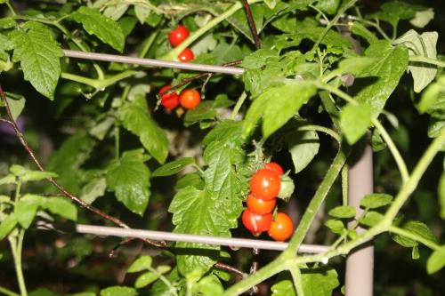 17 tomates cerises veneux 27 août 2015 012.jpg
