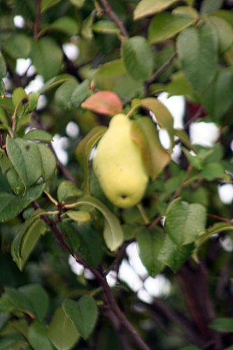 pseudocyd fruit paris 26 sept 2010 pp 246.jpg