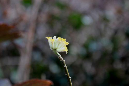 edgeworthia veneux 7 fev 2014 015 (4).jpg