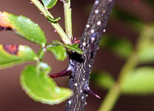zantho piper épines 21 août 2010 pp 126.jpg