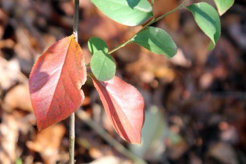 9 pseudocydonia veneux 2 déc 2012 034 (1).jpg