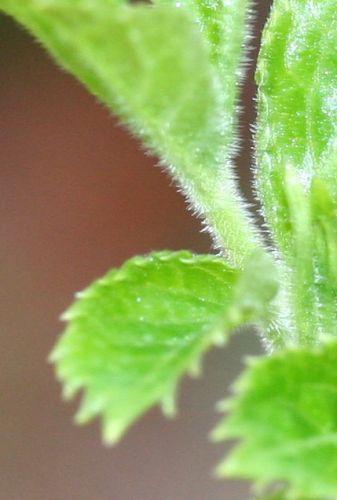 palmensis poils feuille 5 mars 002.jpg