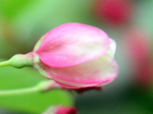 malus zumi fleur gb 9 avril 2012 062.jpg
