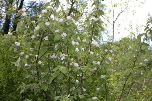 2 cydonia krymsk 1 romilly 7 mai 2015 024 (2).jpg