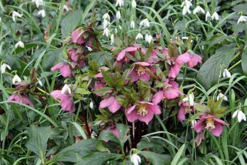 1 helleborus orientalis veneux 10 mars 2013 005.jpg